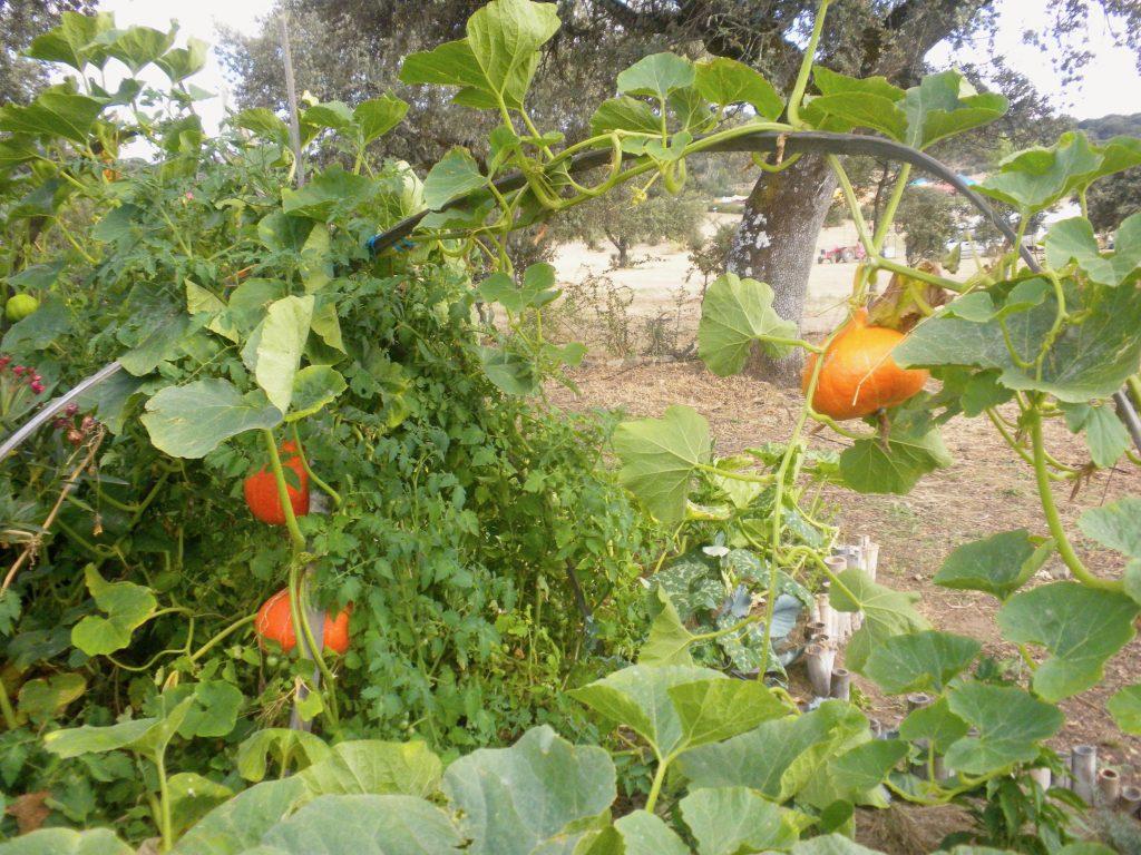 Pumpkins trained up a bamboo pole