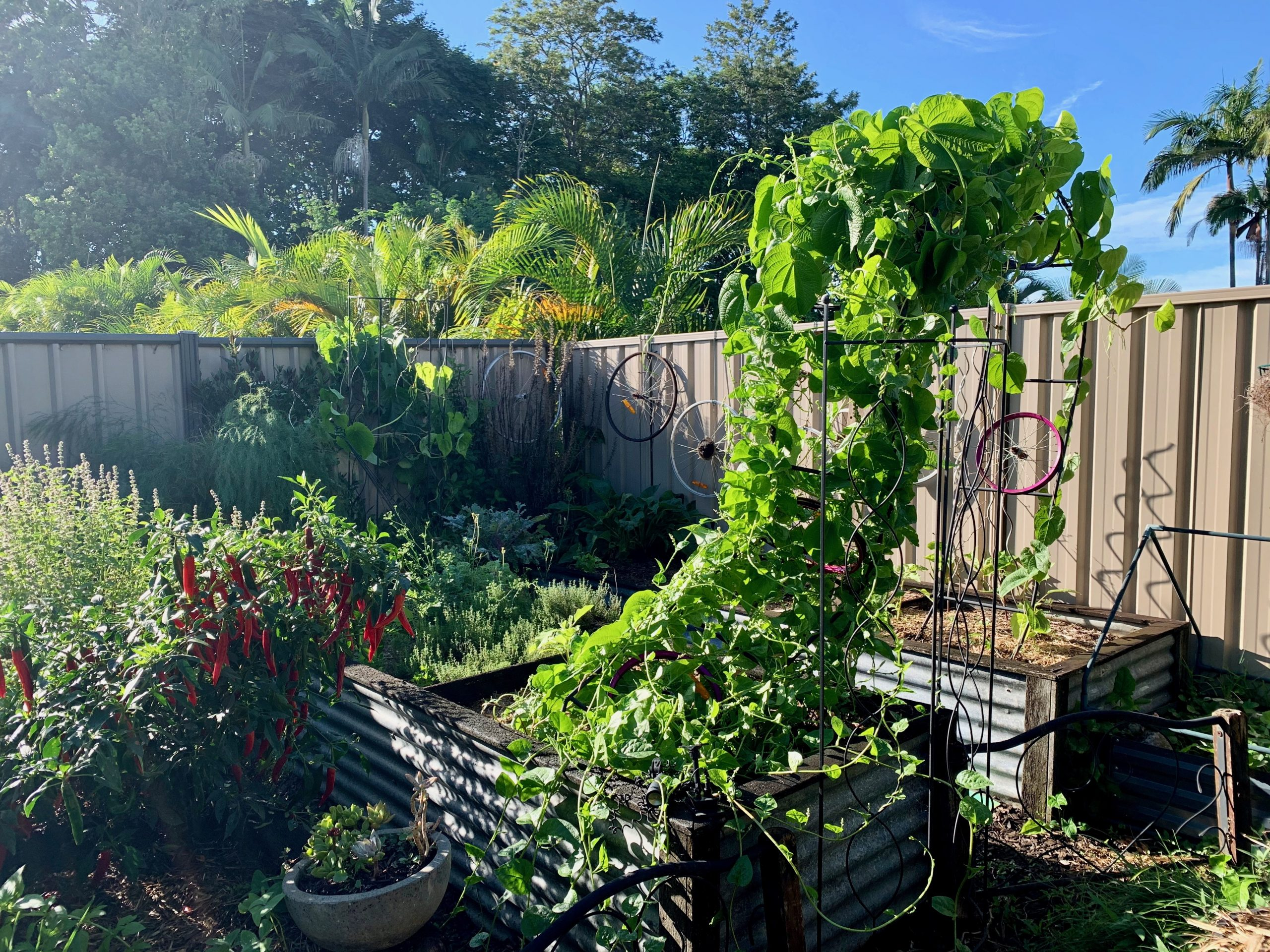 Malabar spinach growing up an arch